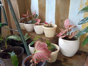 3 Tanaman Hias yang Cocok Diletakkan di Pot